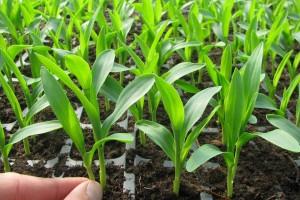 Простые правила выращивания качественной рассады