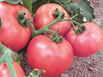Розовый детерминантный томат